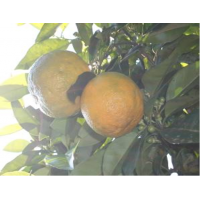 HE Orange amère (Fruit)